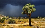 Joshua Tree National Park, California, USA - Storm clouds over Joshua