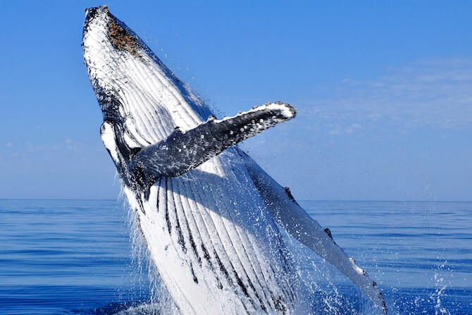 Monterey Bay, California, USA - Humpback Whale