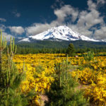 Yellow flowers carpet around snowy Mount Shasta