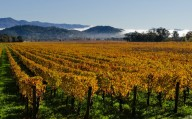 Napa Valley, California - Vineyard in mist