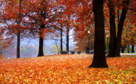 Autumn Orange leaves falling from trees in New England