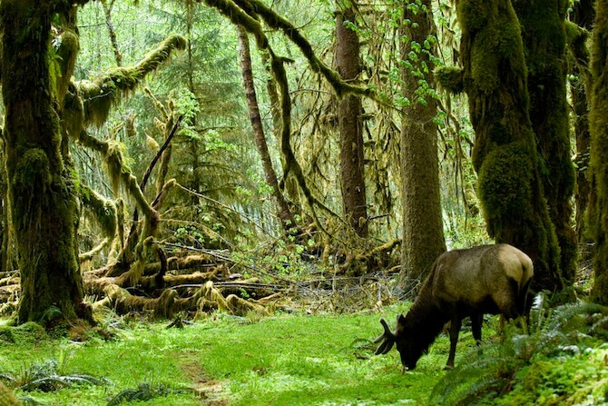 Olympic National Park, Washington, USA - Forrest with Elk