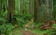 Giant Trees at Redwood National Park