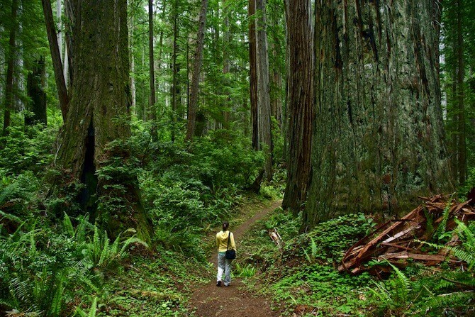Redwood National Park - Lady walking within Redwood trees