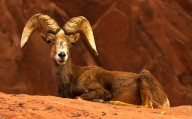 Valley of Fire - Resting Desert Big Horn Ram Sheep on Red Rocks